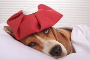 Cute sick dog in bed with ice pack on her head
