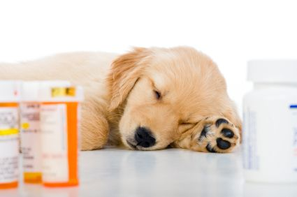 Golden Retriever puppy taking medication