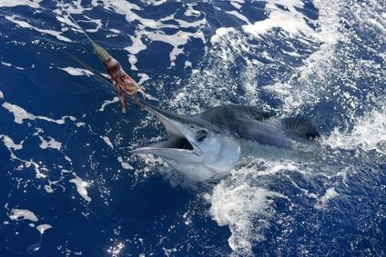 Post image for Billfish In The Bahamas